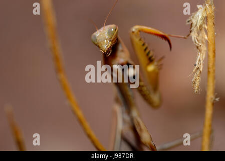 Praying mantis (Mantis religiosa) in defensive position in Albendiego, Guadalajara, Spain - Stock Photo