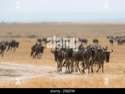 Wildebeest Group during Migration - Stock Photo