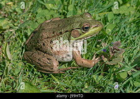 Green Frog (Rana clamitans or Lithobates clamitans), E USA - Stock Photo