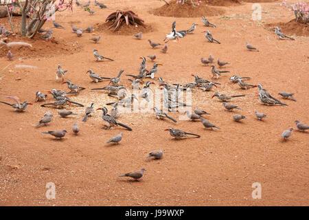southern gelbschnabeltokos (tockus leucomelas) - Stock Photo