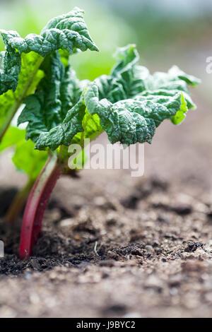 Growing rhubarb in home garden - Stock Photo
