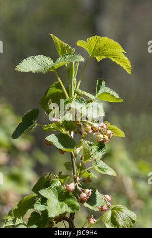 Closeup of a red currant bush with flowers on a twig - Stock Photo
