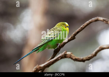 Budgerigar - song parrot perching on tree branch closeup - Stock Photo