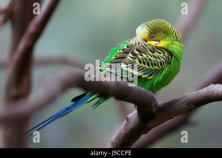 Budgerigar - song parrot perching and sleeping closeup - Stock Photo