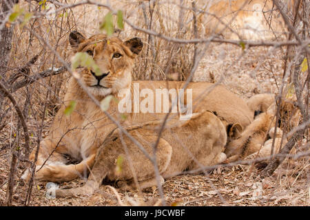 lioness with cub (panthera leo) - Stock Photo
