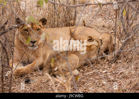 animal, africa, horizontal, predator, young animal, lioness, animal, wild, - Stock Photo