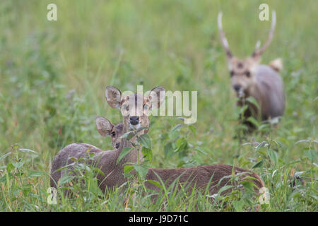 A small herd of female and male hog deer (Axis porcinus) looking straight into camera while feeding in the green - Stock Photo