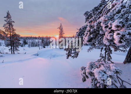 Pink lights of the arctic sunset illuminate the snowy woods, Vennivaara, Rovaniemi, Lapland region, Finland, Europe - Stock Photo