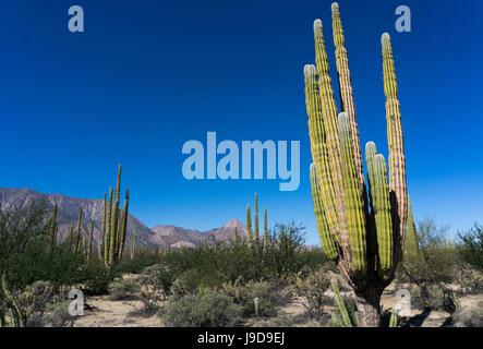 Cacti in dry desert like landscape, Baja California, Mexico, North America - Stock Photo