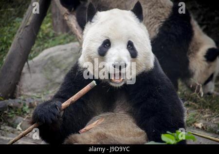 Chengdu Research Base of Giant Panda Breeding, Chengdu, Sichuan Province, China, Asia - Stock Photo