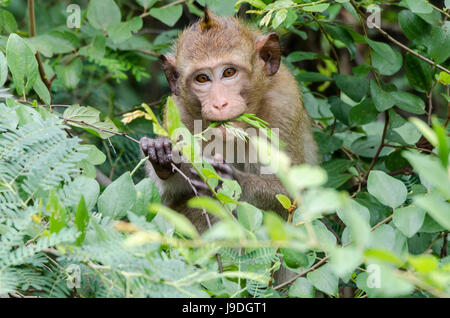 Crab-eating macaque (Macaca fascicularis) or long-tailed macaque animal looking straight into camera while feeding - Stock Photo
