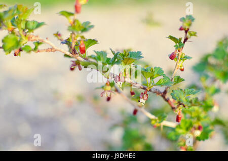 Currant bush in spring garden at spring - Stock Photo