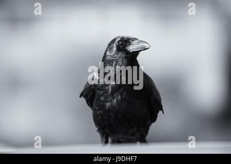 Crow on car roof by the River Thames at Twickenham, West London, UK - Stock Photo