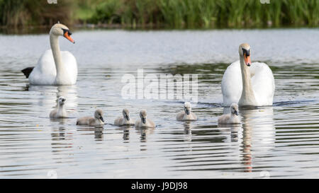 Two mute swans and six cygnets swimming - Stock Photo