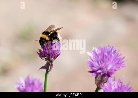 chive and erdhummeln - Stock Photo