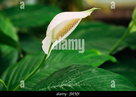 Green Leaves Of Plant Flower Spathiphyllum. It Is A Genus Of About 40 Species Of Monocotyledonous Flowering Plants - Stock Photo