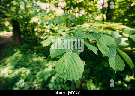 Close-up Of Leaf Leaves On Branch Of Green Alder Or Alnus Viridis Tree Growing In Sunny Spring Summer Forest Park. - Stock Photo