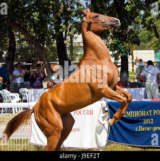 PYATIGORSK, RUSSIA - August 25 2012:18 international rally racing Akhal-Teke horses.The event was attended by representatives - Stock Photo
