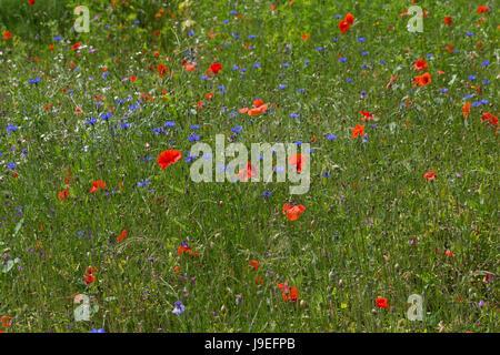 Blumenwiese, Wildblumen, artenreiche Blütenwiese, Wildblumen-Wiese, Wildkräuter-Wiese, Wildkräuter, bunte Vielfalt, mit Mohn, Kornblumen, flowerbed, f Stock Photo