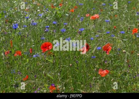 Blumenwiese, Wildblumen, artenreiche Blütenwiese, Wildblumen-Wiese, Wildkräuter-Wiese, Wildkräuter, bunte Vielfalt, mit Mohn, Kornblumen, flowerbed, f