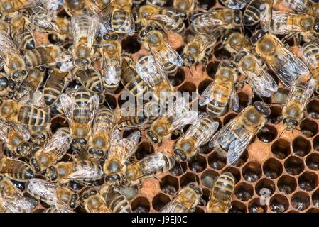 Honey Bee colony showing female worker bees on brood chamber comb. - Stock Photo