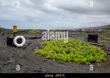 Large patch of scaevola sencea growing on lava rock in the Volcanoes National Park. - Stock Photo