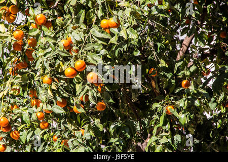 Orange tree (Valencia, of course) in Valencia, Spain. - Stock Photo