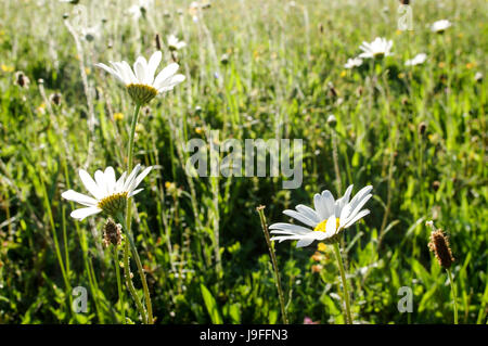 Oxeye Daisies growing in Bedelands Nature Reserve in West Sussex - Stock Photo