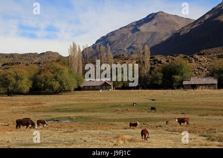 Cows and farm on a field in Patagonia, Argentina - Stock Photo
