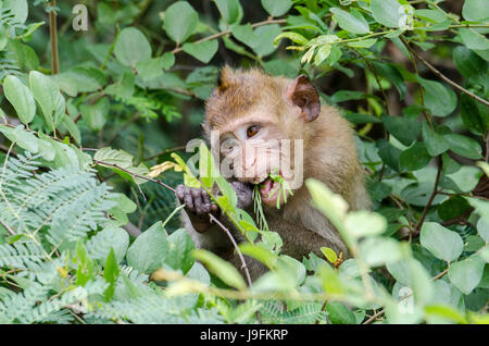 A lone juvenile crab-eating macaque (Macaca fascicularis) or long-tailed macaque feeding in the local park near - Stock Photo