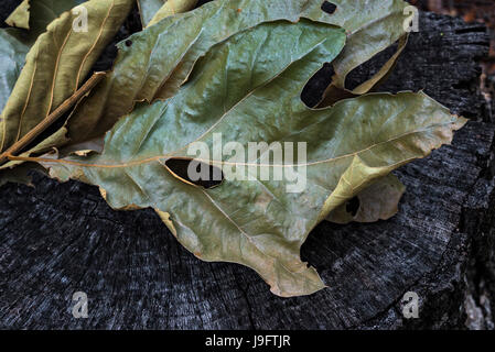 Dried up leaf cluster from oak tree. - Stock Photo