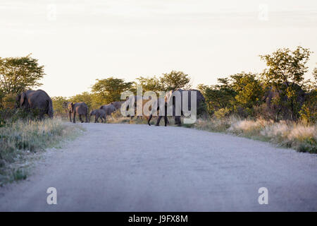 A herd of elephants crossing the road, mothers and calfs, in etosha, Namibia. - Stock Photo