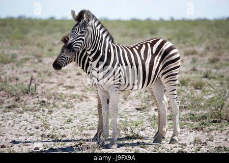 Two zebras standing in savannah in Etosha NP, Namibia. - Stock Photo