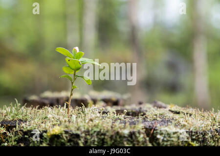 Close-up of a lingonberry (or cowberry, huckleberry, foxberry) sapling, moss and lichen growing on top of a stump - Stock Photo