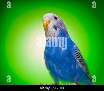 one blue parrot budgies.bird on the green background. - Stock Photo