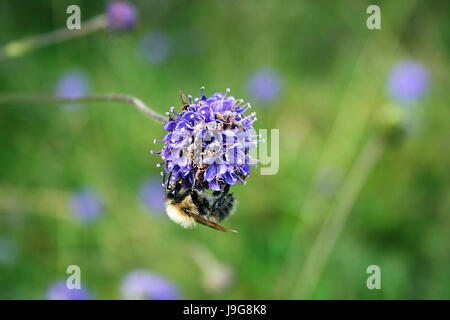 A common carder worker bumble bee (Bombus pascuorum) on a purple devil's bit scabious (Succisa pratensis) with a - Stock Photo