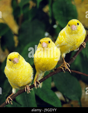 Yellow canary serinus canaria on its perch in front of a - Standing canarias ...