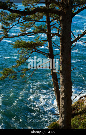 Sitka spruce (Picea sitchensis), Depoe Bay Scenic View Area, Depoe Bay, Oregon - Stock Photo