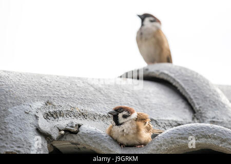 A mating pair of Eurasian tree sparrows (Passer montanus) resting on the roof - Stock Photo