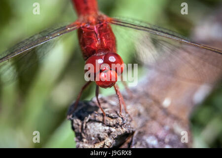 Vivid red colored Crocothemis servilia dragonfly commonly known as the Scarlet Skimmer at rest and on the lookout - Stock Photo