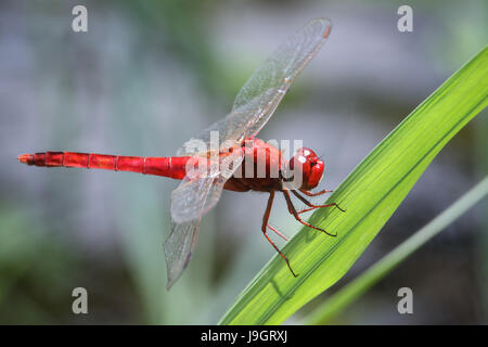 Macro photo of Crocothemis servilia dragonfly (Scarlet Skimmer) at rest on leaf. Close-up image of a beautiful dragonfly - Stock Photo