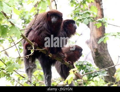 Family of South American Coppery or copper coloured Titi Monkeys (Callicebus cupreus) in a tree. - Stock Photo