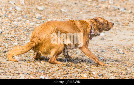 A dog shaking off sea water on a beach on a hot day. - Stock Photo