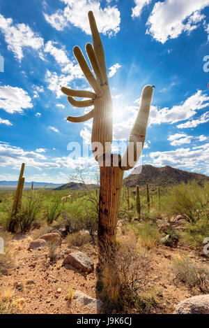 Saguaro cactus at sunset in Sonoran desert, Arizona. - Stock Photo