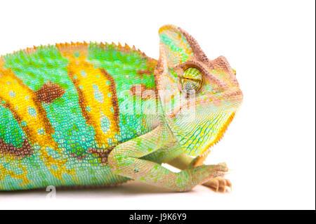 Yemen chameleon muzzle isolated on white background - Stock Photo