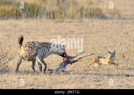 Spotted Hyena (Crocuta crocuta) and Jackal (Canis mesomelas) fighting for Thomson's Gazelle, Serengeti National - Stock Photo