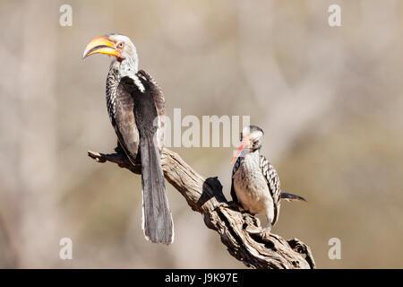 southern yellow-billed hornbill (tockus leucomelas) - Stock Photo
