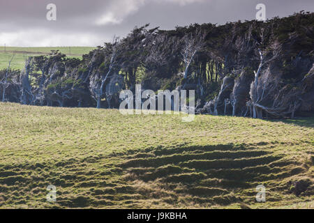 New Zealand, South Island, Southland, The Catlins, Slope Point, Southern-most point of the South Island of NZ, windswwept - Stock Photo