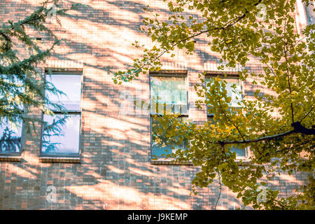 Gingo leaf and brand take a shadow lay down on the building wall and window glasses in Tokyo University, Tokyo Japan. - Stock Photo