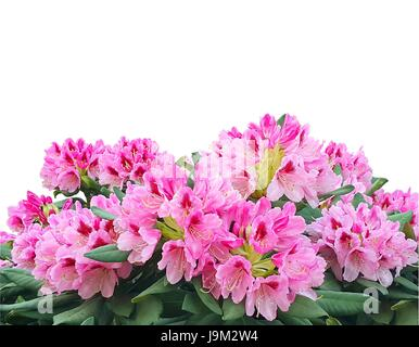 Blooming pink azalea or rhododendron flowers isolated on white background - Stock Photo